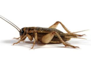 cricket control fountain valley
